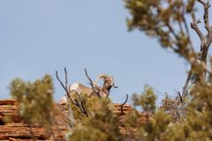 Κριός και προβατίνα Bighorn ερήμων στοκ εικόνες με δικαίωμα ελεύθερης χρήσης