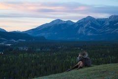 Κριός στο λόφο στο ηλιοβασίλεμα στοκ εικόνα