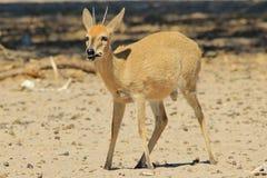 Κριός Duiker - υπόβαθρο άγριας φύσης από την Αφρική - αστεία φύση και πεινασμένο στομάχι Στοκ Εικόνες