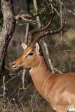 κριός impala Στοκ Εικόνες