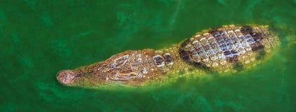 Κροκόδειλος ή αλλιγάτορας που επιπλέει στο νερό στοκ φωτογραφία με δικαίωμα ελεύθερης χρήσης