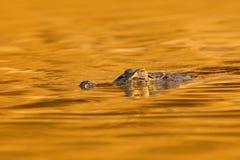 Κροκόδειλος, ηλιοβασίλεμα Yacare Caiman, χρυσός κροκόδειλος στη σκούρο παρτοκαλί επιφάνεια νερού βραδιού με τον ήλιο, βιότοπος πο Στοκ Εικόνα