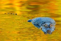 Κροκόδειλος και ηλιοβασίλεμα Yacare Caiman στη σκούρο παρτοκαλί επιφάνεια νερού βραδιού με τον ήλιο, βιότοπος ποταμών φύσης, Pant Στοκ Εικόνες