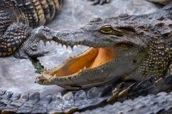 Κροκόδειλος με το ανοικτό πάρκο mouthin στην Ασία στοκ εικόνα με δικαίωμα ελεύθερης χρήσης