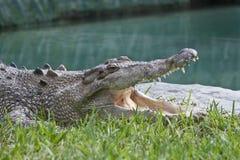 Κροκόδειλος με το ανοικτό στόμα. Στοκ Εικόνες