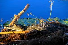 κροκόδειλος Νείλος μω&r Στοκ Εικόνα