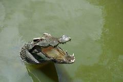 Κροκόδειλος σε ένα νερό με τα ανοιγμένα σαγόνια Στοκ Εικόνες