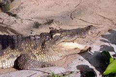 Κροκόδειλος στο ύδωρ Στοκ Εικόνα
