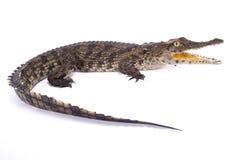 Κροκόδειλος του Νείλου, niloticus Crocodylus στοκ εικόνα με δικαίωμα ελεύθερης χρήσης