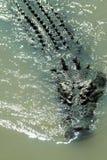 κροκόδειλος αλμυρός Στοκ φωτογραφία με δικαίωμα ελεύθερης χρήσης