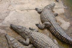 Κροκόδειλοι, αλλιγάτορες στο Μαρόκο Αγρόκτημα κροκοδείλων σε Αγαδίρ Στοκ Φωτογραφίες