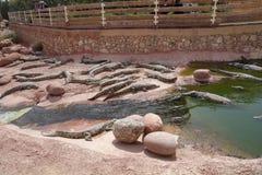Κροκόδειλοι, αλλιγάτορες στο Μαρόκο Αγρόκτημα κροκοδείλων σε Αγαδίρ Στοκ Εικόνες