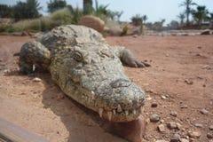 Κροκόδειλοι, αλλιγάτορες στο Μαρόκο Αγρόκτημα κροκοδείλων σε Αγαδίρ Στοκ εικόνες με δικαίωμα ελεύθερης χρήσης