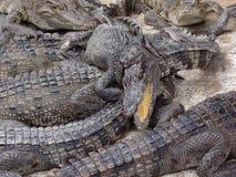 Κροκόδειλοι, Καμπότζη Στοκ εικόνα με δικαίωμα ελεύθερης χρήσης