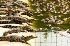 Κροκόδειλοι μωρών στο αγρόκτημα κροκοδείλων, Ταϊλάνδη Στοκ εικόνα με δικαίωμα ελεύθερης χρήσης