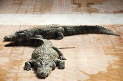 Κροκόδειλοι που κοιμούνται και που στηρίζονται στο πάρκο του PU Bueng Boraphet Στοκ Εικόνες