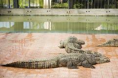 Κροκόδειλοι που κοιμούνται και που στηρίζονται στο πάρκο του PU Bueng Boraphet Στοκ φωτογραφίες με δικαίωμα ελεύθερης χρήσης