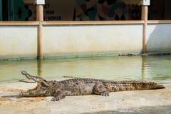 Κροκόδειλοι που στηρίζονται στο αγρόκτημα κροκοδείλων Samut Prakan και το ζωολογικό κήπο, Thail Στοκ εικόνες με δικαίωμα ελεύθερης χρήσης