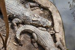 Κροκόδειλοι που στηρίζονται στο αγρόκτημα κροκοδείλων Samut Prakan και το ζωολογικό κήπο, Thail Στοκ Εικόνα