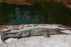 Κροκόδειλοι στο crocopark στοκ εικόνα με δικαίωμα ελεύθερης χρήσης
