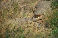 Κροκόδειλοι της Αφρικής Στοκ Φωτογραφίες