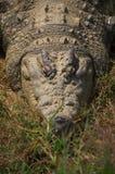 Κροκόδειλοι της Αφρικής Στοκ Εικόνες