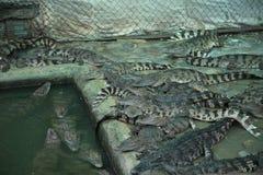 κροκόδειλοι στοκ εικόνα με δικαίωμα ελεύθερης χρήσης