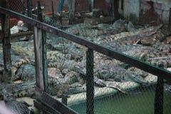 κροκόδειλοι στοκ εικόνα