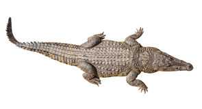 Κροκόδειλος άγριας φύσης που απομονώνεται στο λευκό Στοκ εικόνα με δικαίωμα ελεύθερης χρήσης