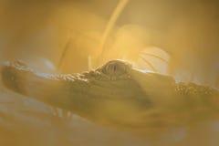 Κροκόδειλος, ζώο, Στοκ Εικόνα