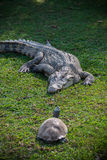 Κροκόδειλος και χελώνα στοκ φωτογραφίες με δικαίωμα ελεύθερης χρήσης