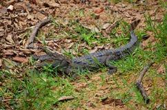 Κροκόδειλος μωρών, Srí Lanka Στοκ Εικόνες