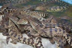 Κροκόδειλος, ο αλλιγάτορας Στοκ Φωτογραφία