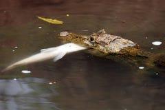 Κροκόδειλος που κρατά ένα ψάρι στο στόμα του, Στοκ Φωτογραφίες