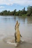 Κροκόδειλος που πηδά στον ποταμό Στοκ Εικόνα