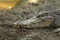 Κροκόδειλος που στηρίζεται στο έδαφος Στοκ φωτογραφία με δικαίωμα ελεύθερης χρήσης