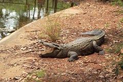 Κροκόδειλος στη φύση - στο έδαφος. Στοκ εικόνα με δικαίωμα ελεύθερης χρήσης