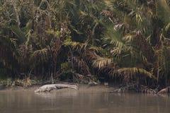 Κροκόδειλος στο εθνικό πάρκο Sundarbans στο Μπανγκλαντές Στοκ φωτογραφία με δικαίωμα ελεύθερης χρήσης