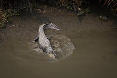 Κροκόδειλος στο εθνικό πάρκο Sundarbans στο Μπανγκλαντές Στοκ Εικόνες