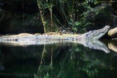 Κροκόδειλος στο ζωολογικό κήπο της Σιγκαπούρης νερού Στοκ Εικόνες