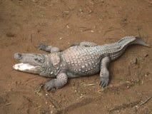 Κροκόδειλος στο ζωολογικό κήπο του Mysore στοκ εικόνες