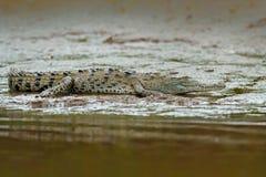 Κροκόδειλος στο νερό με τον ήλιο βραδιού Κροκόδειλος από τη Κόστα Ρίκα Caiman στο νερό, ποταμός Tarcoles, Carara, Κόστα Ρίκα Dang Στοκ Φωτογραφία