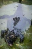 Κροκόδειλος στο νερό Στοκ Φωτογραφία