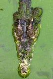 Κροκόδειλος στο νερό Στοκ εικόνες με δικαίωμα ελεύθερης χρήσης