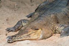 Κροκόδειλος του Νείλου ύπνου (niloticus Crocodylus) Στοκ Φωτογραφία
