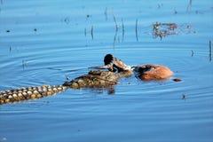Κροκόδειλος Στοκ εικόνα με δικαίωμα ελεύθερης χρήσης