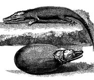 Κροκόδειλος Στοκ Φωτογραφίες