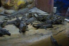 Κροκόδειλος Στοκ φωτογραφίες με δικαίωμα ελεύθερης χρήσης