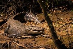 Κροκόδειλος (Crocodylidae) Αυστραλία Στοκ εικόνες με δικαίωμα ελεύθερης χρήσης