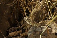Κροταλίας λιβαδιών - viridis Crotalus Στοκ Εικόνα